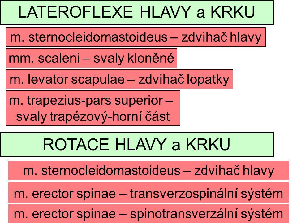 LATEROFLEXE HLAVY a KRKU mm.scaleni – svaly kloněné m.
