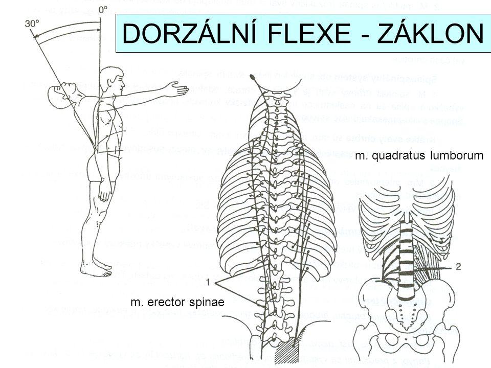 m. erector spinae m. quadratus lumborum DORZÁLNÍ FLEXE - ZÁKLON