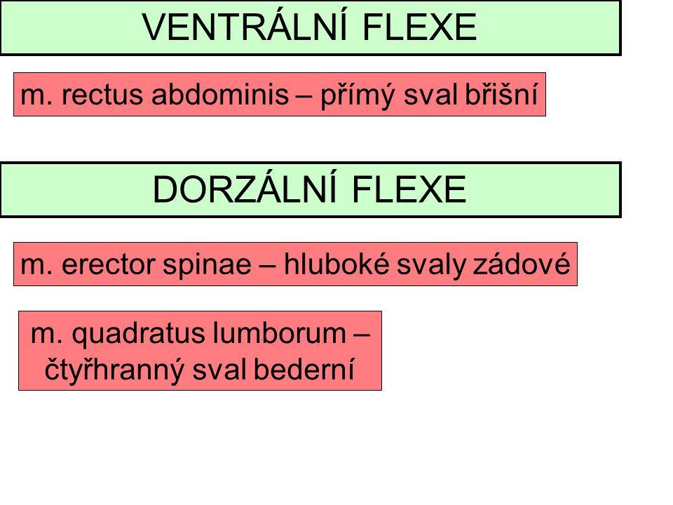 VENTRÁLNÍ FLEXE m.rectus abdominis – přímý sval břišní DORZÁLNÍ FLEXE m.