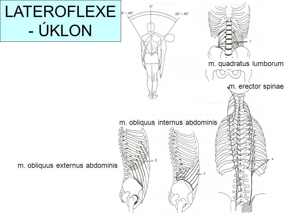 m. obliquus externus abdominis m. obliquus internus abdominis m. erector spinae LATEROFLEXE - ÚKLON