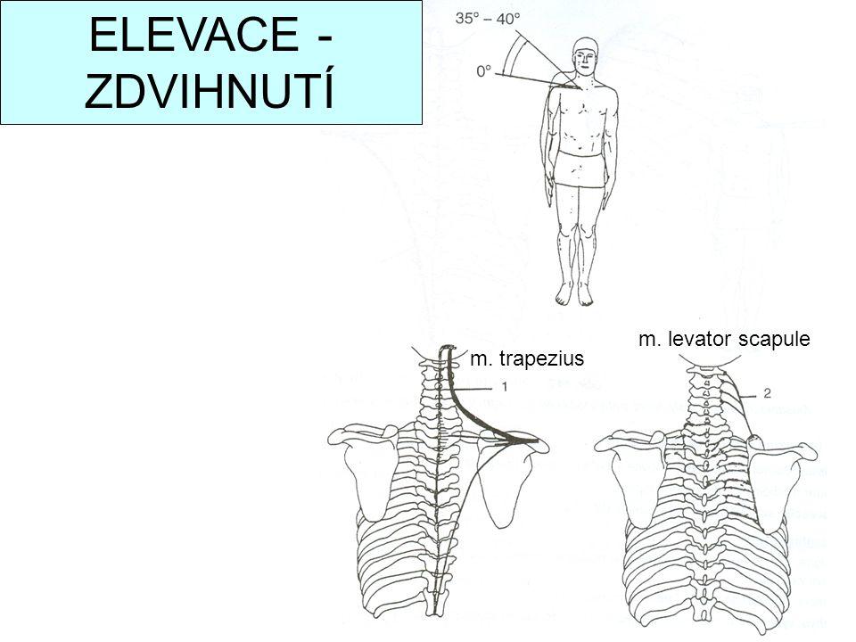 m. trapezius m. levator scapule ELEVACE - ZDVIHNUTÍ