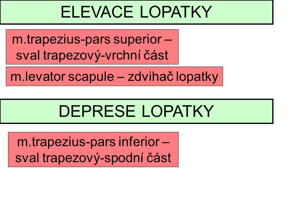 ELEVACE LOPATKY m.trapezius-pars superior – sval trapezový-vrchní část m.levator scapule – zdvihač lopatky DEPRESE LOPATKY m.trapezius-pars inferior – sval trapezový-spodní část