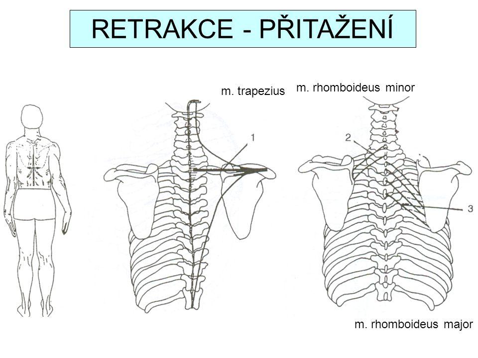 m. trapezius m. rhomboideus minor m. rhomboideus major RETRAKCE - PŘITAŽENÍ