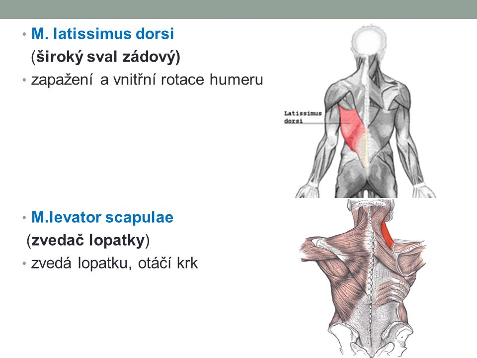 M. latissimus dorsi (široký sval zádový) zapažení a vnitřní rotace humeru M.levator scapulae (zvedač lopatky) zvedá lopatku, otáčí krk