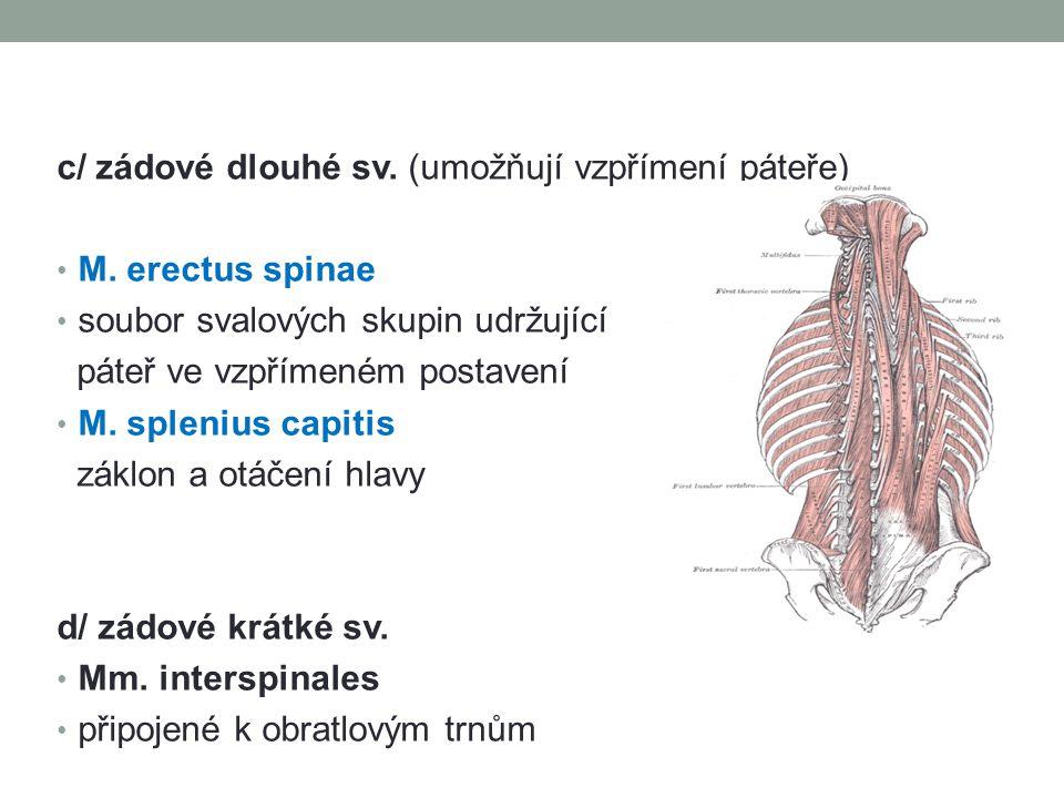 c/ zádové dlouhé sv. (umožňují vzpřímení páteře) M. erectus spinae soubor svalových skupin udržující páteř ve vzpřímeném postavení M. splenius capitis