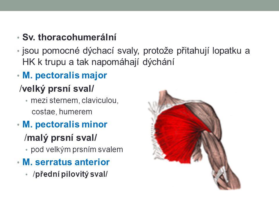 Sv. thoracohumerální jsou pomocné dýchací svaly, protože přitahují lopatku a HK k trupu a tak napomáhají dýchání M. pectoralis major /velký prsní sval