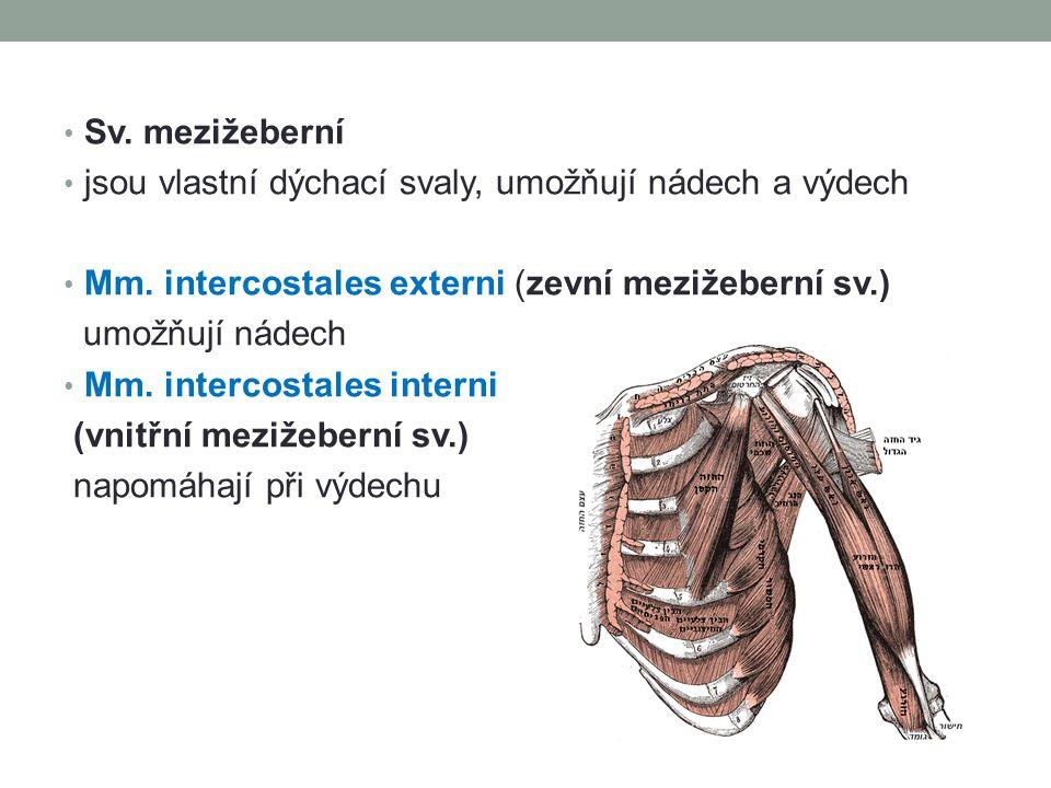 Sv. mezižeberní jsou vlastní dýchací svaly, umožňují nádech a výdech Mm. intercostales externi (zevní mezižeberní sv.) umožňují nádech Mm. intercostal