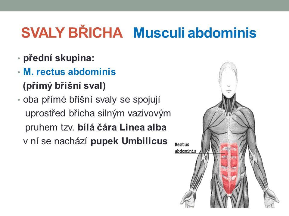 SVALY BŘICHAMusculi abdominis přední skupina: M. rectus abdominis (přímý břišní sval) oba přímé břišní svaly se spojují uprostřed břicha silným vazivo