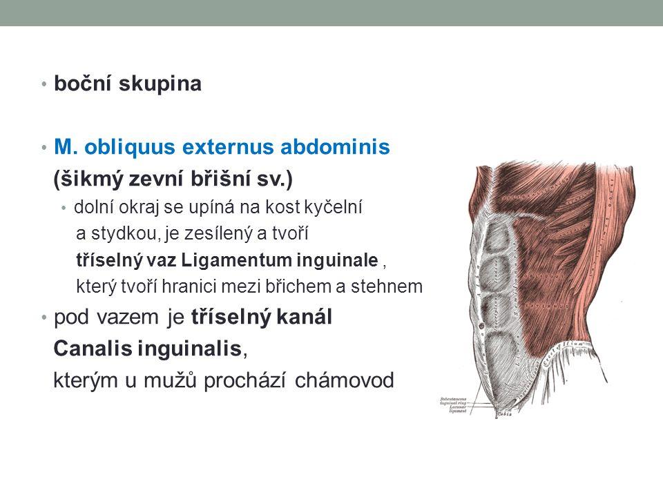 boční skupina M. obliquus externus abdominis (šikmý zevní břišní sv.) dolní okraj se upíná na kost kyčelní a stydkou, je zesílený a tvoří tříselný vaz