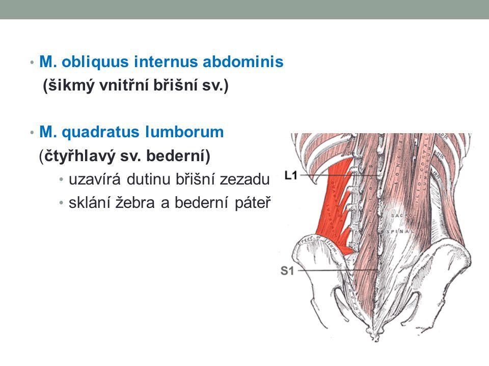 M. obliquus internus abdominis (šikmý vnitřní břišní sv.) M. quadratus lumborum (čtyřhlavý sv. bederní) uzavírá dutinu břišní zezadu sklání žebra a be