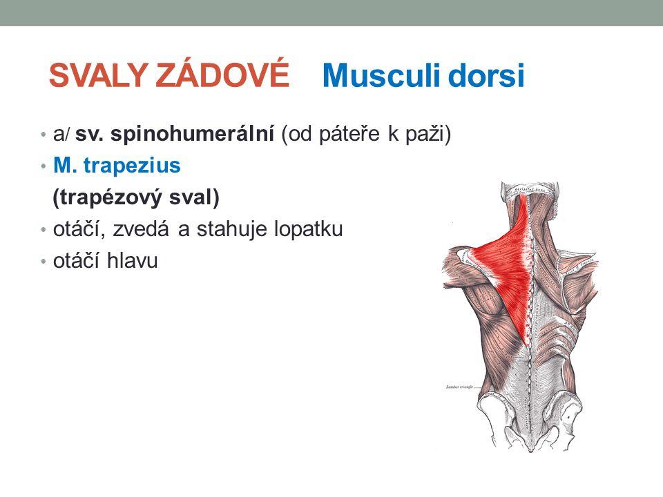 SVALY ZÁDOVÉ Musculi dorsi a / sv. spinohumerální (od páteře k paži) M. trapezius (trapézový sval) otáčí, zvedá a stahuje lopatku otáčí hlavu
