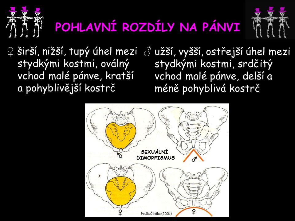 POHLAVNÍ ROZDÍLY NA PÁNVI ♀ širší, nižší, tupý úhel mezi stydkými kostmi, oválný vchod malé pánve, kratší a pohyblivější kostrč ♂ užší, vyšší, ostřejší úhel mezi stydkými kostmi, srdčitý vchod malé pánve, delší a méně pohyblivá kostrč Podle Čiháka (2001) SEXUÁLNÍ DIMORFISMUS