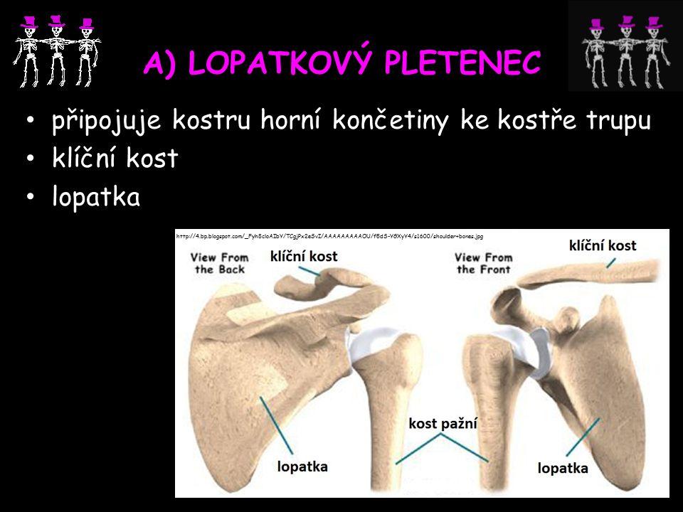 A) LOPATKOVÝ PLETENEC připojuje kostru horní končetiny ke kostře trupu klíční kost lopatka http://4.bp.blogspot.com/_Fyh8cloAIbY/TCgjPx2eSvI/AAAAAAAAAOU/f5dS-YGXyY4/s1600/shoulder+bones.jpg