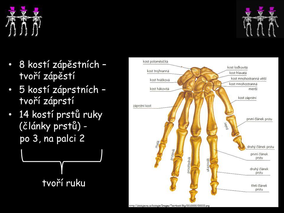 8 kostí zápěstních – tvoří zápěstí 5 kostí záprstních – tvoří záprstí 14 kostí prstů ruky (články prstů) - po 3, na palci 2 tvoří ruku http://skolajecna.cz/biologie/Images/Textbook/Big/0010000/00033.png