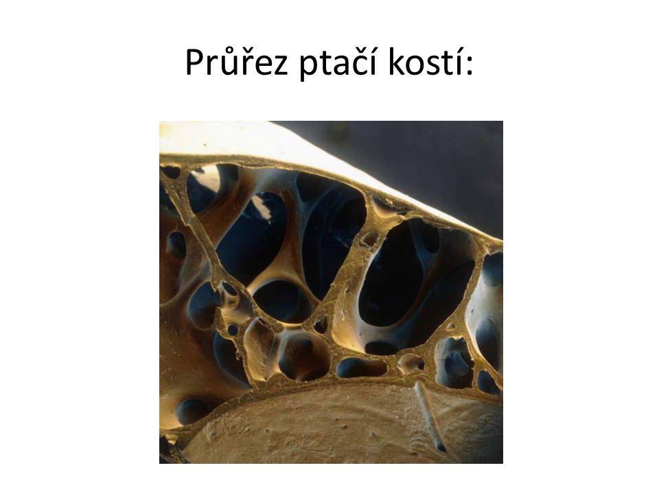 Průřez ptačí kostí: