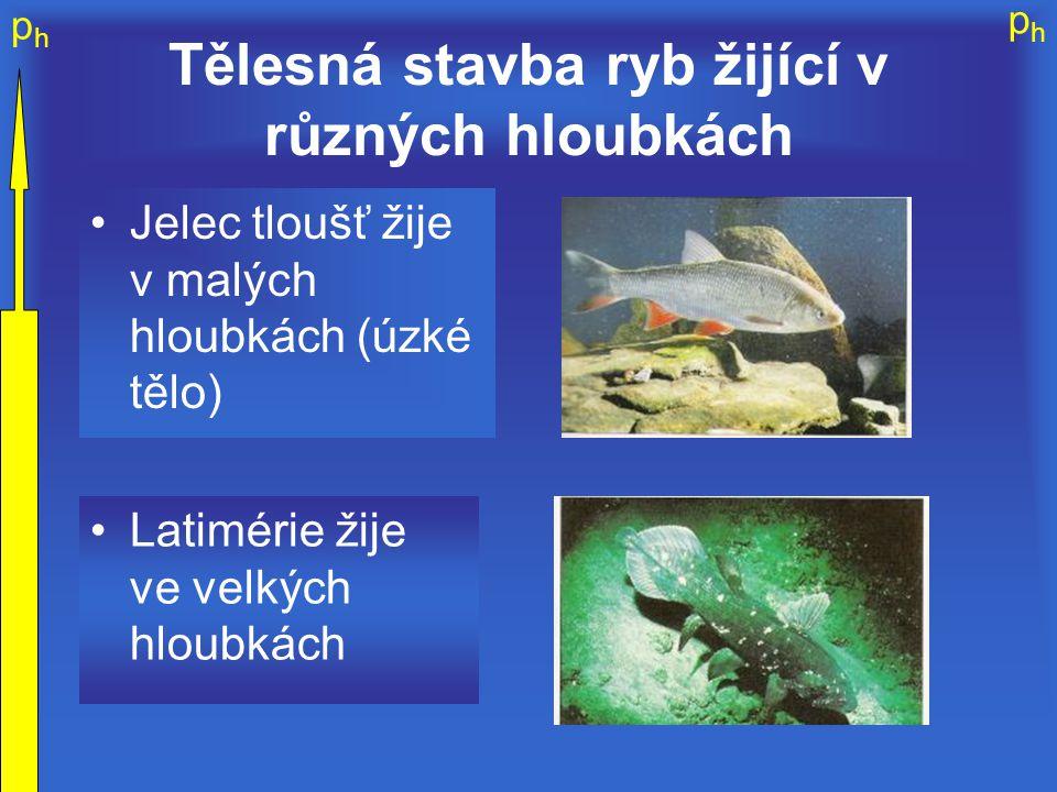 phph phph Tělesná stavba ryb žijící v různých hloubkách Jelec tloušť žije v malých hloubkách (úzké tělo) Latimérie žije ve velkých hloubkách