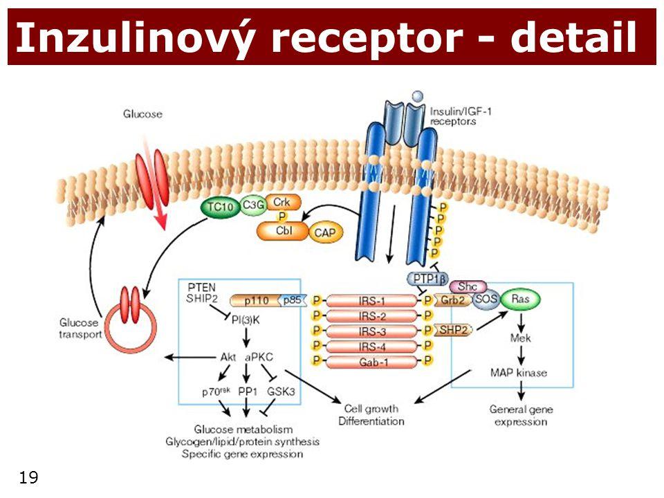 19 Inzulinový receptor - detail