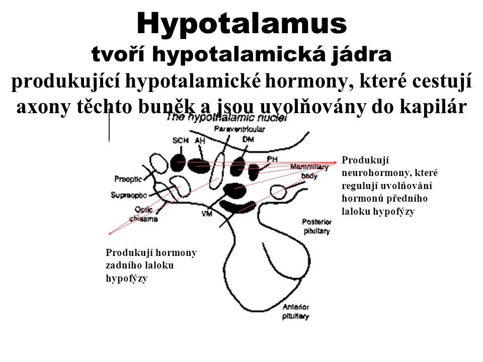 Hypotalamus tvoří hypotalamická jádra produkující hypotalamické hormony, které cestují axony těchto buněk a jsou uvolňovány do kapilár Produkují neuro