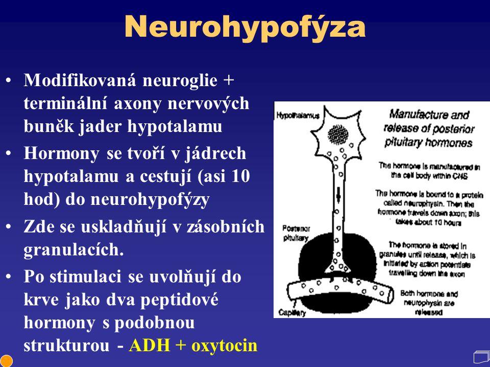 Neurohypofýza Modifikovaná neuroglie + terminální axony nervových buněk jader hypotalamu Hormony se tvoří v jádrech hypotalamu a cestují (asi 10 hod)