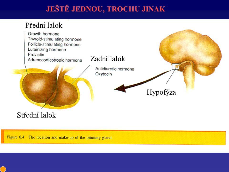 JEŠTĚ JEDNOU, TROCHU JINAK Hypofýza Střední lalok Přední lalok Zadní lalok