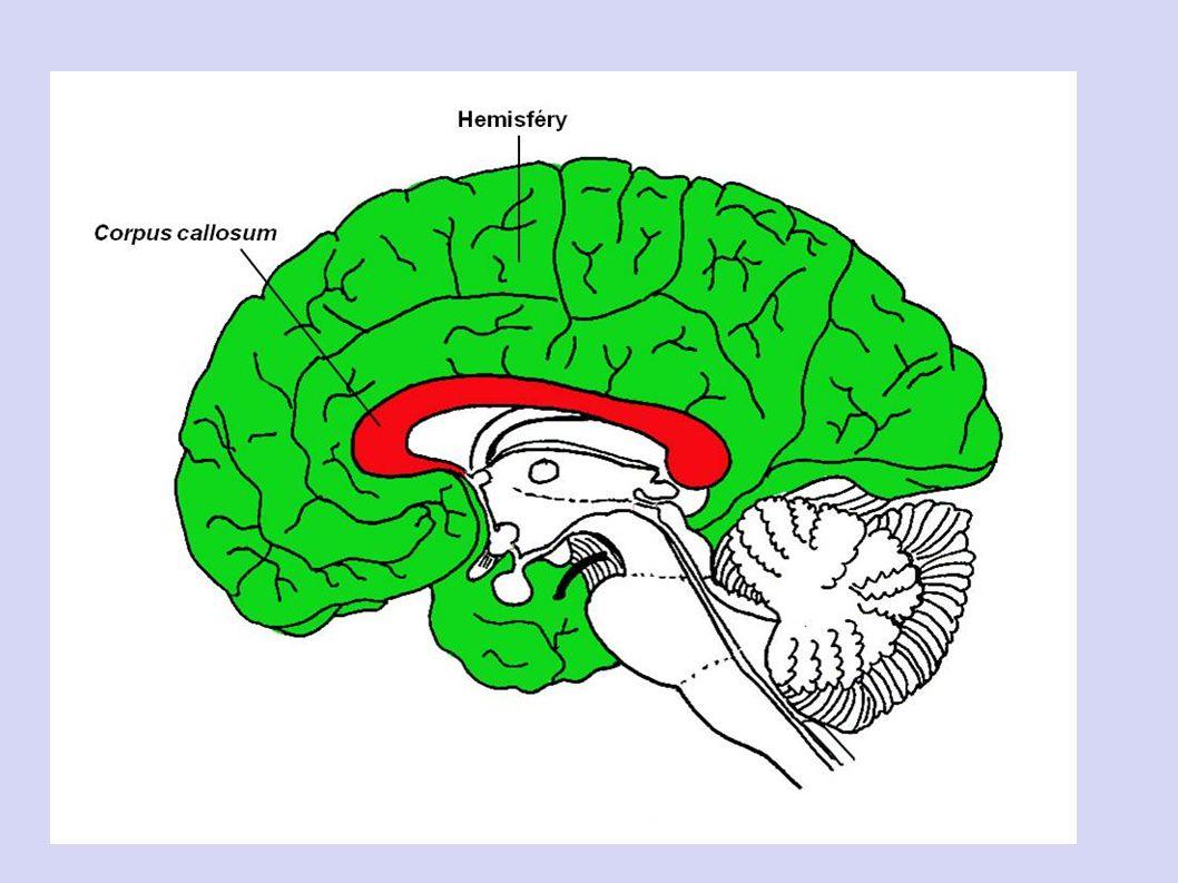 6. KONCOVÝ MOZEK - největší část mozku ( u savců a člověka) - ze 2 polokoulí = HEMISFÉR propojeny tzv. vazníkem = shluk nerv. Buň - povrch koncového m