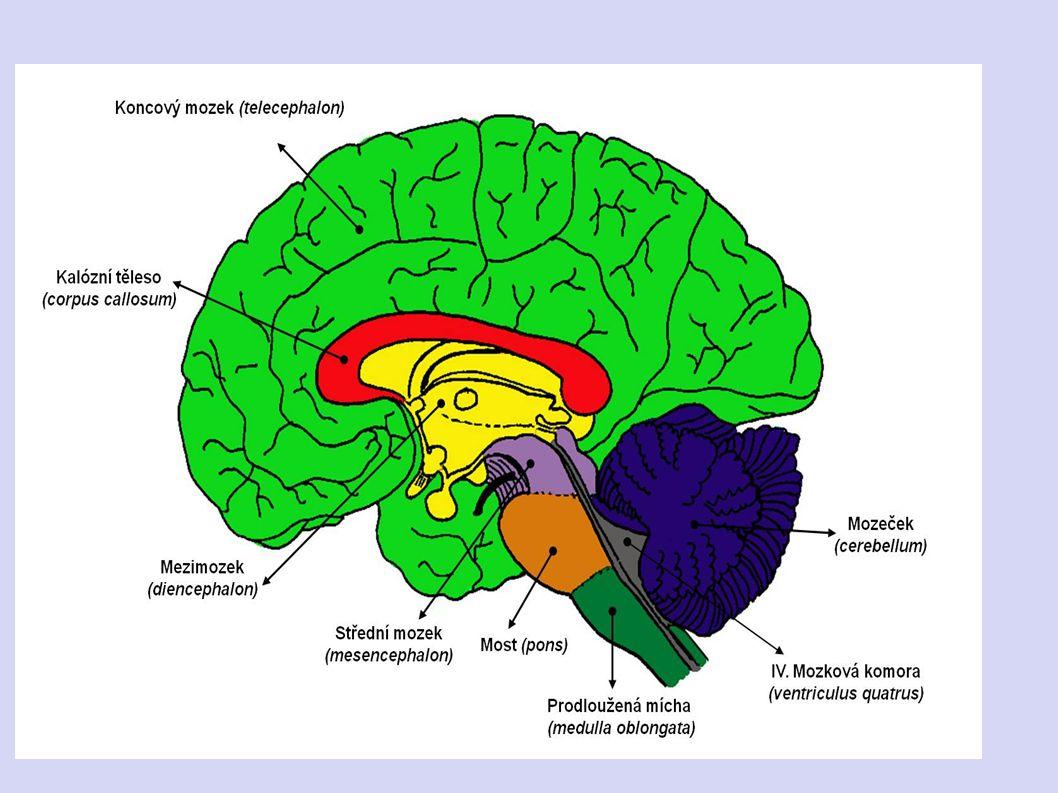STAVBA MOZKU - mozek má 6 částí 1. prodloužená mícha 2. Varolův most mozkový 3. mozeček kmen 4. střední mozek 5. mezimozek 6. koncový mozek