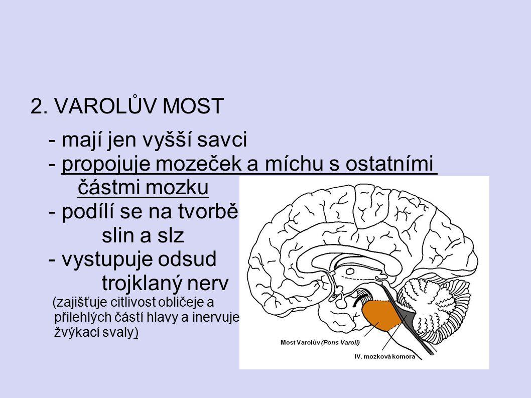 2. VAROLŮV MOST - mají jen vyšší savci - propojuje mozeček a míchu s ostatními částmi mozku - podílí se na tvorbě slin a slz - vystupuje odsud trojkla