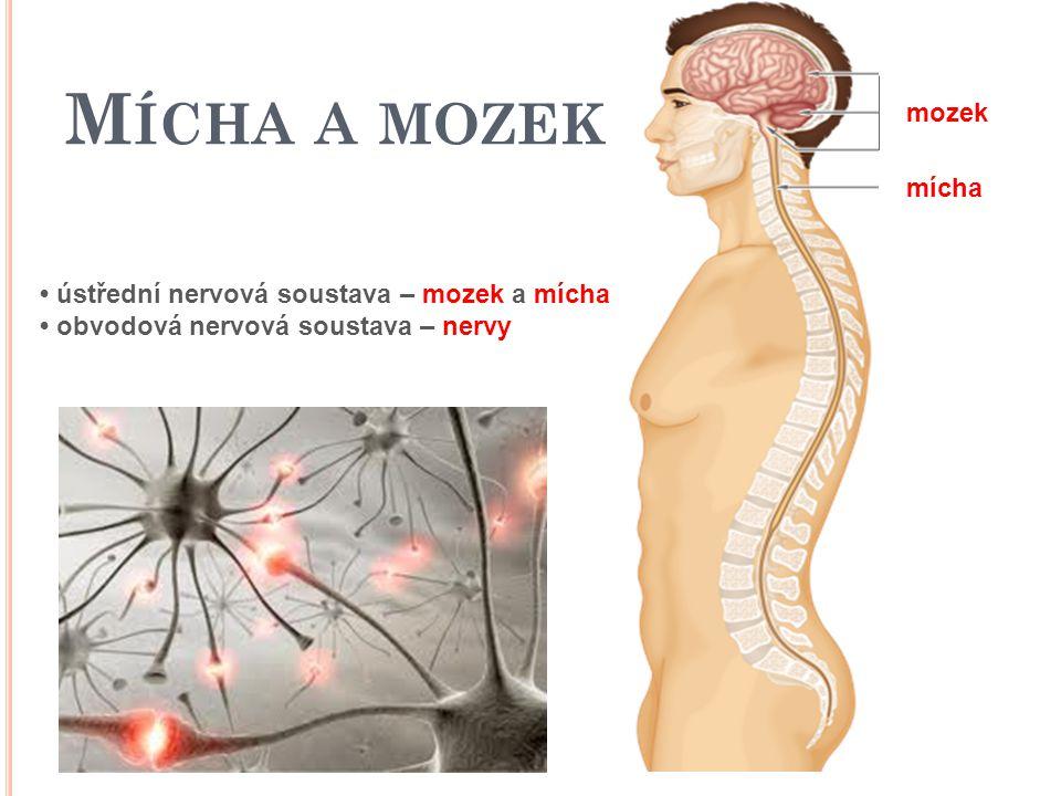 ústřední nervová soustava – mozek a mícha obvodová nervová soustava – nervy mozek mícha