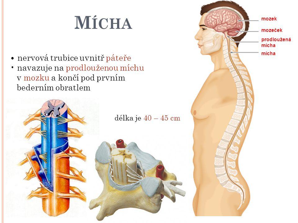 M ÍCHA nervová trubice uvnitř páteře navazuje na prodlouženou míchu v mozku a končí pod prvním bederním obratlem délka je 40 – 45 cm mozek mozeček pro