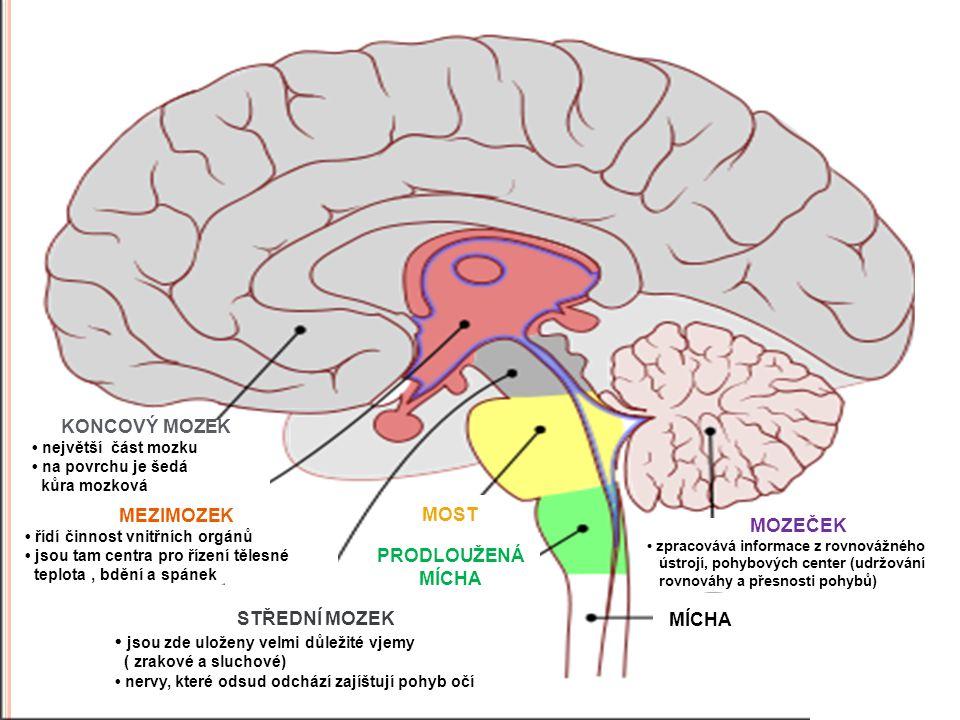 MOZEČEK zpracovává informace z rovnovážného ústrojí, pohybových center (udržování rovnováhy a přesnosti pohybů) MÍCHA KONCOVÝ MOZEK největší část mozk