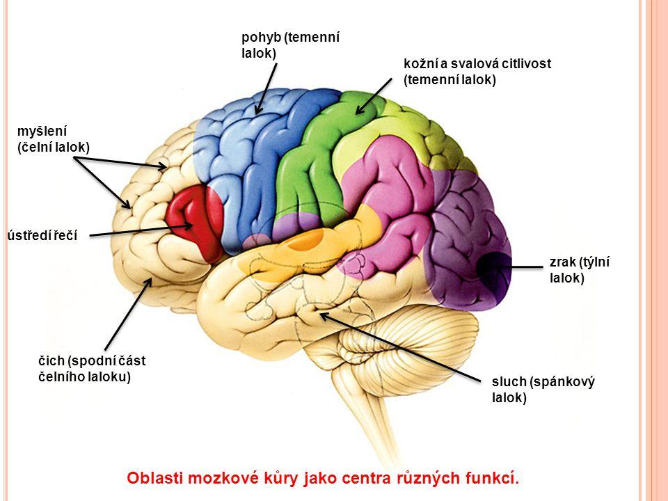 čich (spodní část čelního laloku) ústředí řečí myšlení (čelní lalok) pohyb (temenní lalok) kožní a svalová citlivost (temenní lalok) zrak (týlní lalok