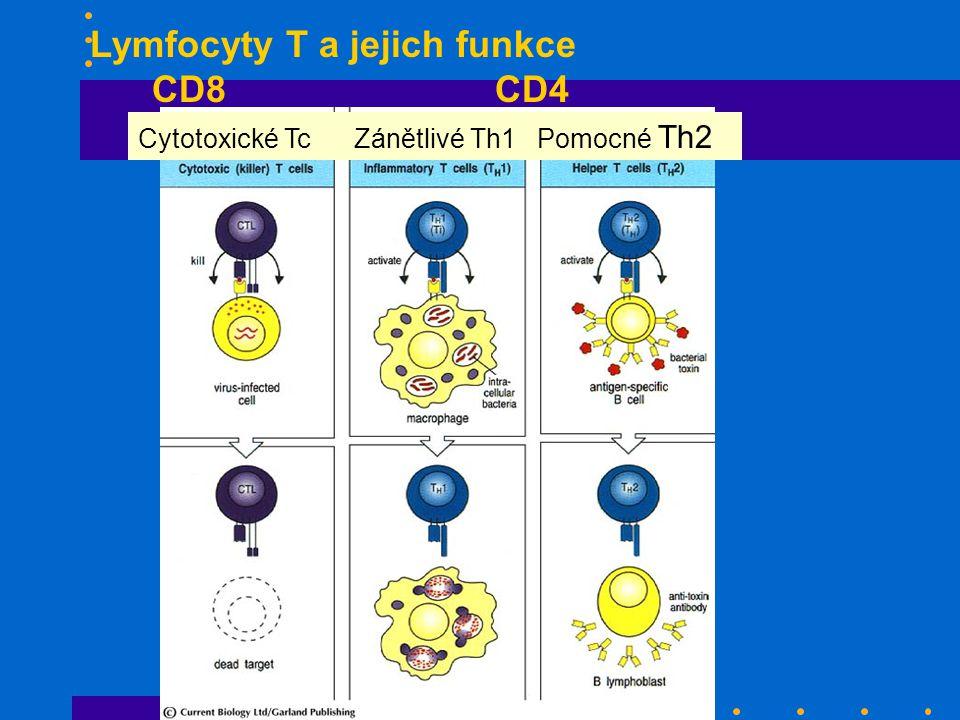 Lymfocyty T a jejich funkce CD8 CD4 Cytotoxické Tc Zánětlivé Th1 Pomocné Th2