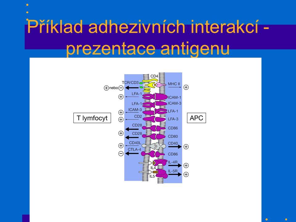 Příklad adhezivních interakcí - prezentace antigenu obr. 42, 43