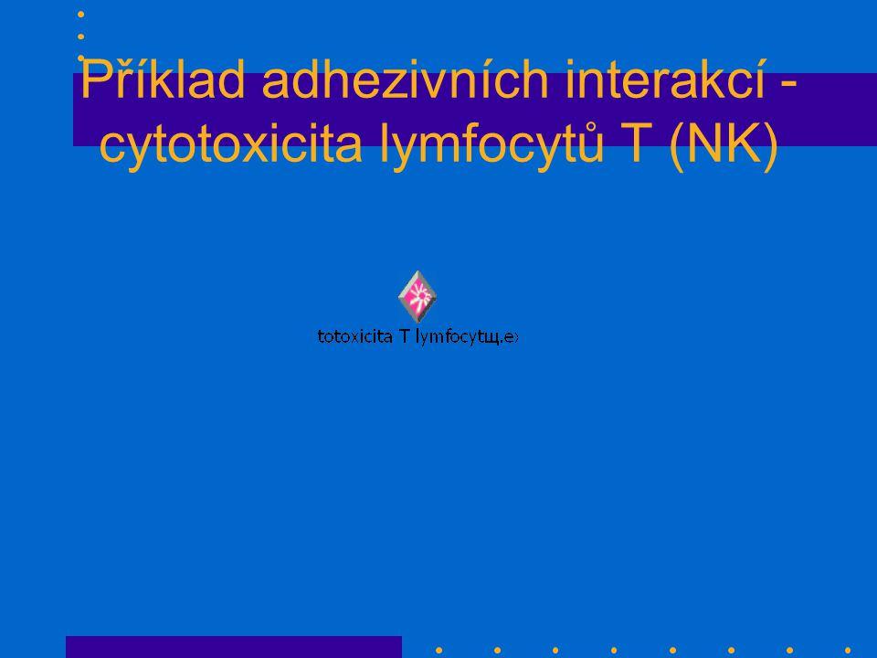 Příklad adhezivních interakcí - cytotoxicita lymfocytů T (NK)