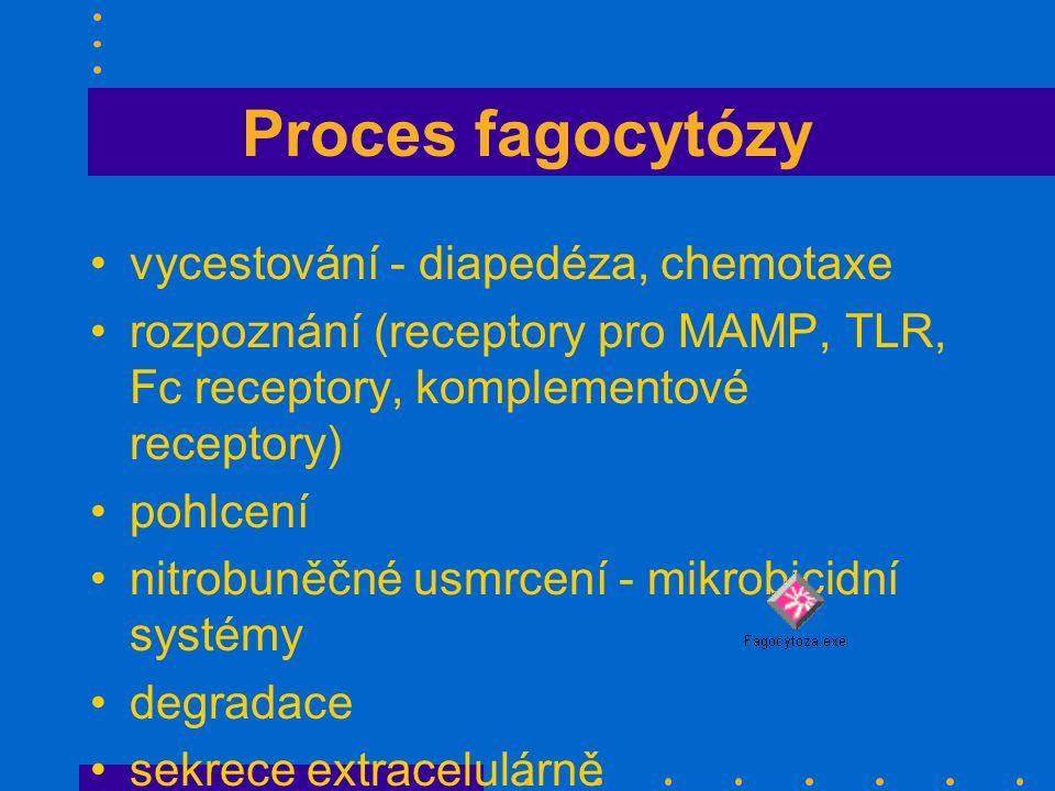 Proces fagocytózy vycestování - diapedéza, chemotaxe rozpoznání (receptory pro MAMP, TLR, Fc receptory, komplementové receptory) pohlcení nitrobuněčné usmrcení - mikrobicidní systémy degradace sekrece extracelulárně