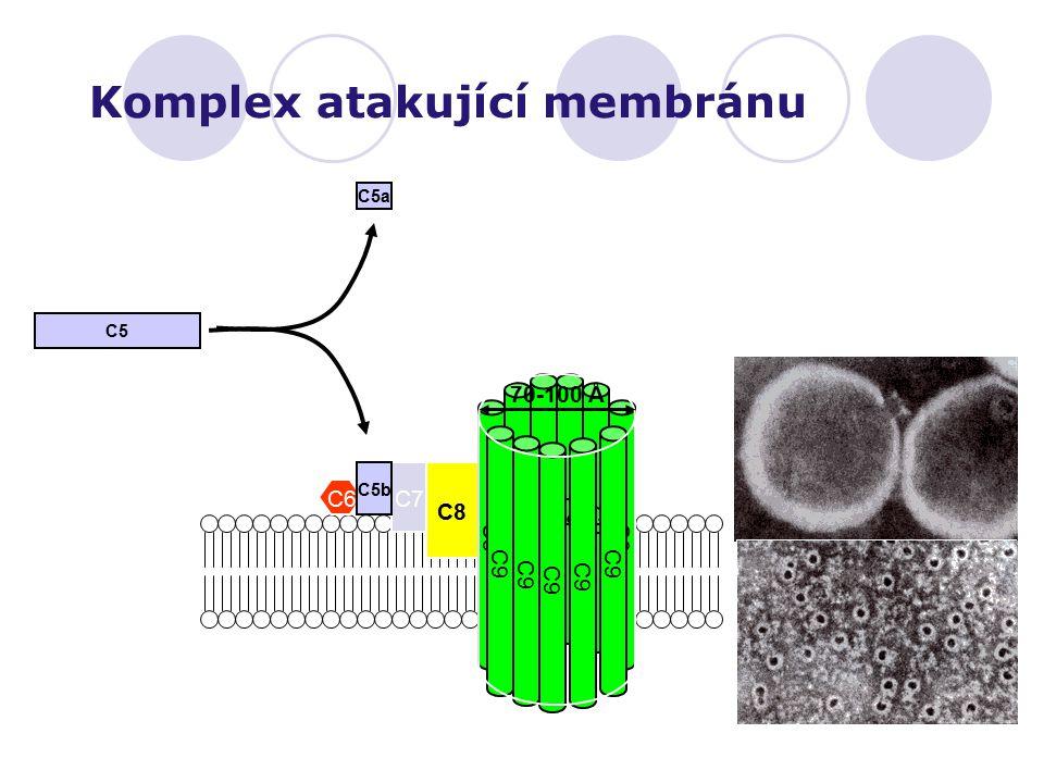 Komplex atakující membránu C6 C7 C8 C9 C5 C5b C5a 70-100 Å