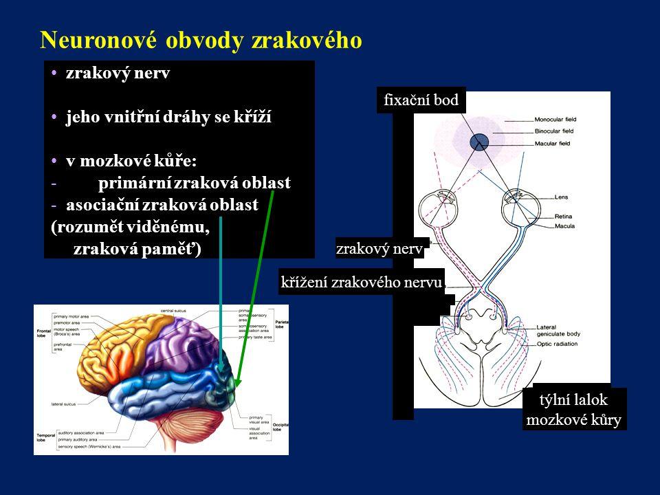 Neuronové obvody zrakového systému fixační bod zrakový nerv křížení zrakového nervu týlní lalok mozkové kůry zrakový nerv jeho vnitřní dráhy se kříží