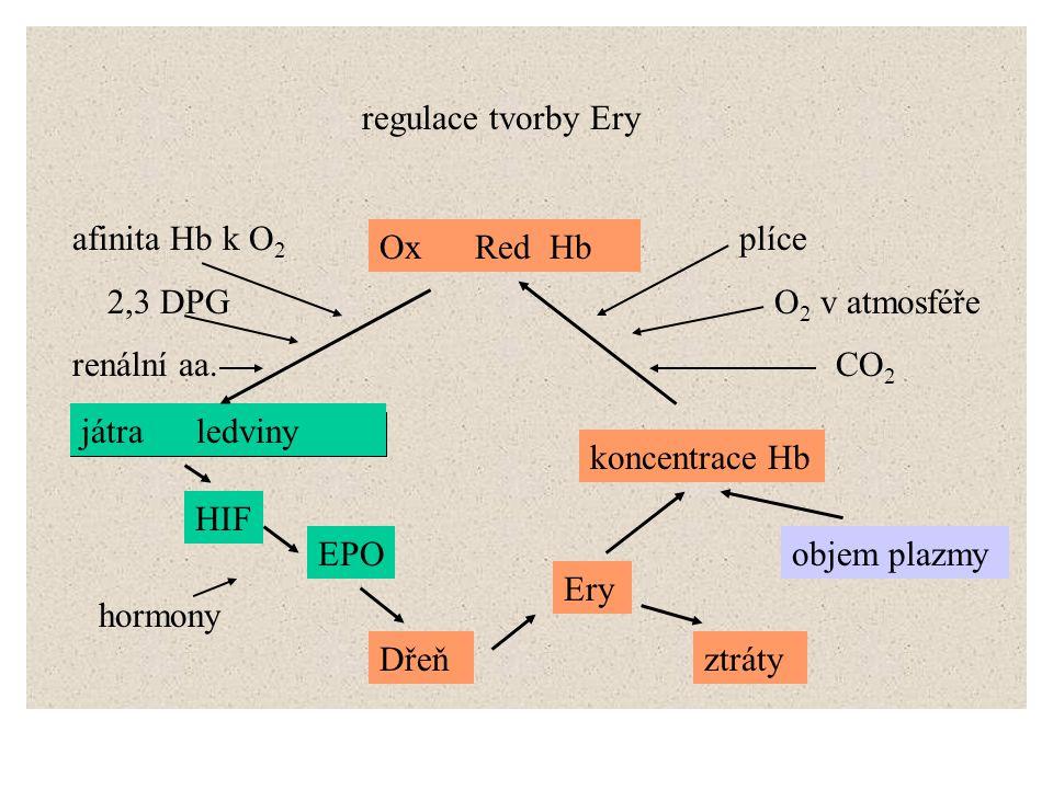 regulace tvorby Ery játra ledviny HIF EPO Dřeň Ery koncentrace Hb objem plazmy Ox Red Hb plíce O 2 v atmosféře CO 2 afinita Hb k O 2 2,3 DPG renální a