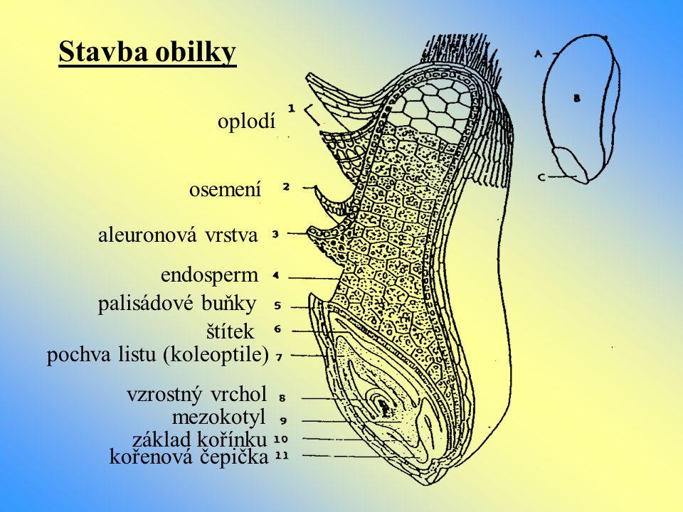 Stavba obilky oplodí osemení aleuronová vrstva endosperm palisádové buňky štítek pochva listu (koleoptile) vzrostný vrchol mezokotyl základ kořínku ko
