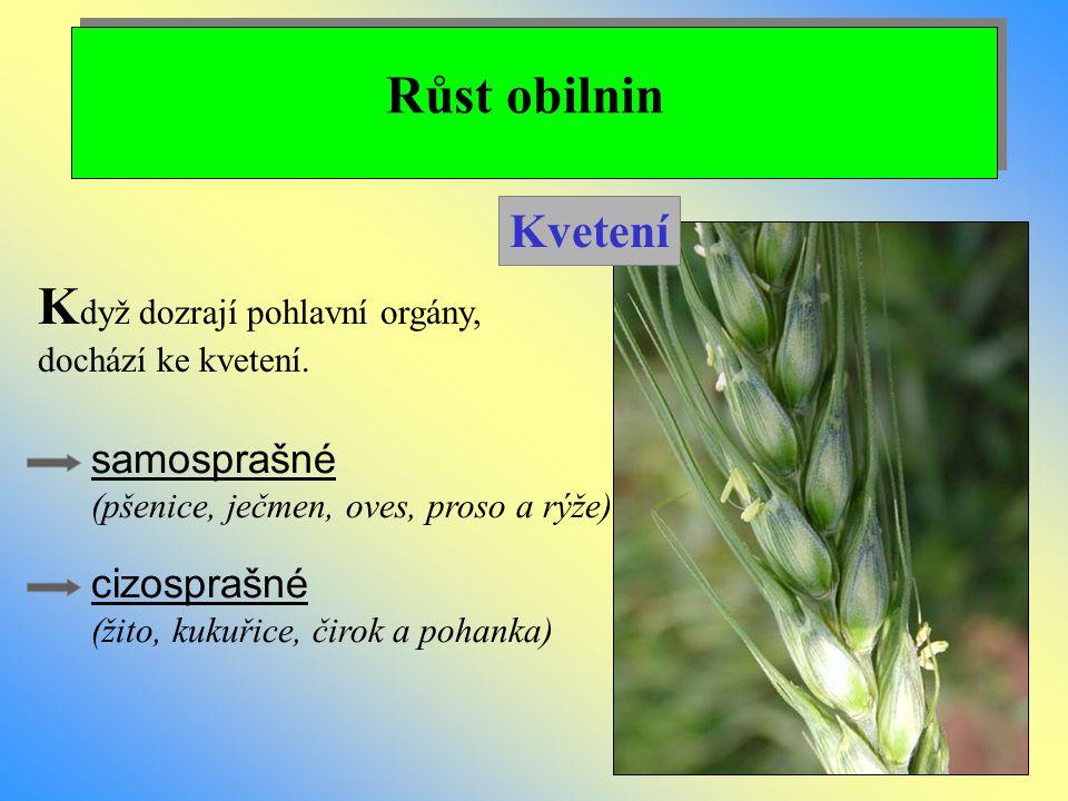 Růst obilnin K dyž dozrají pohlavní orgány, dochází ke kvetení. Kvetení cizosprašné (žito, kukuřice, čirok a pohanka) samosprašné (pšenice, ječmen, ov