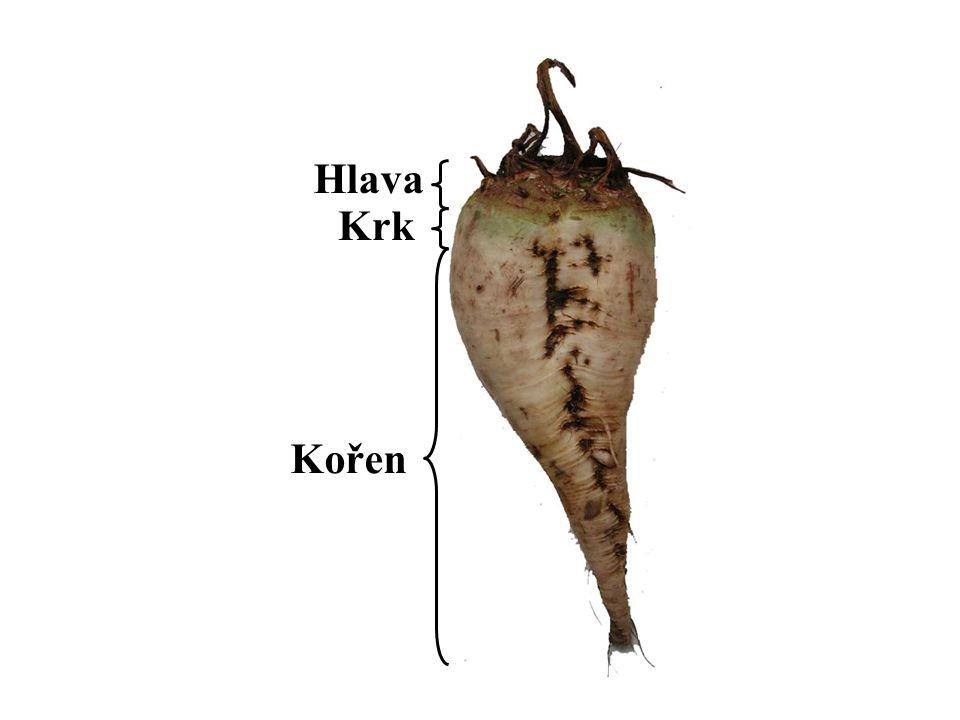 Hlava Krk Kořen