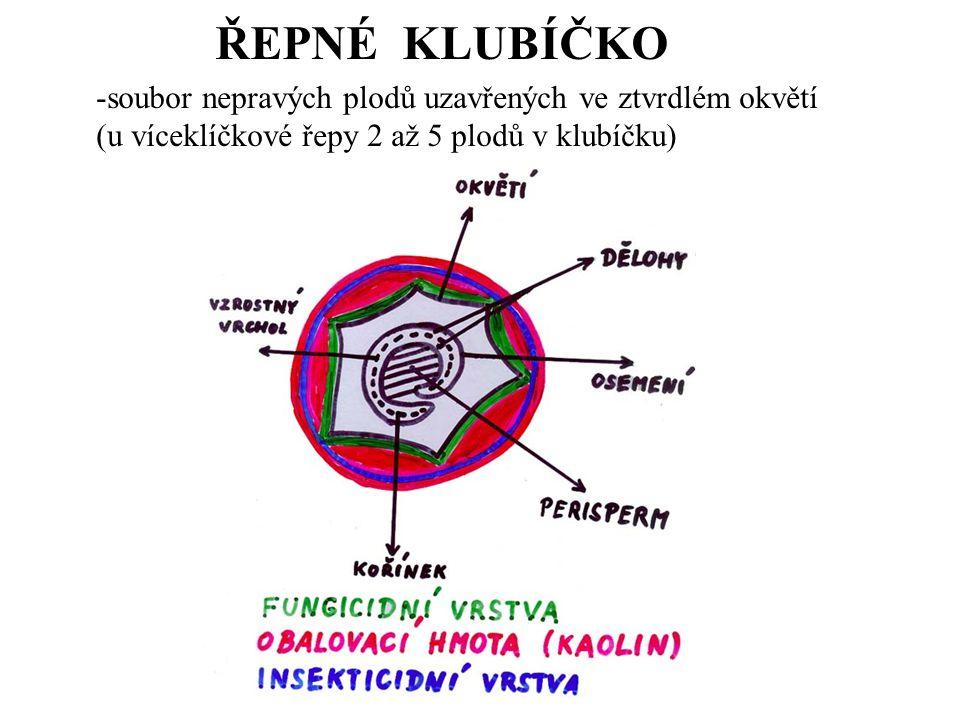 ŘEPNÉ KLUBÍČKO -soubor nepravých plodů uzavřených ve ztvrdlém okvětí (u víceklíčkové řepy 2 až 5 plodů v klubíčku)