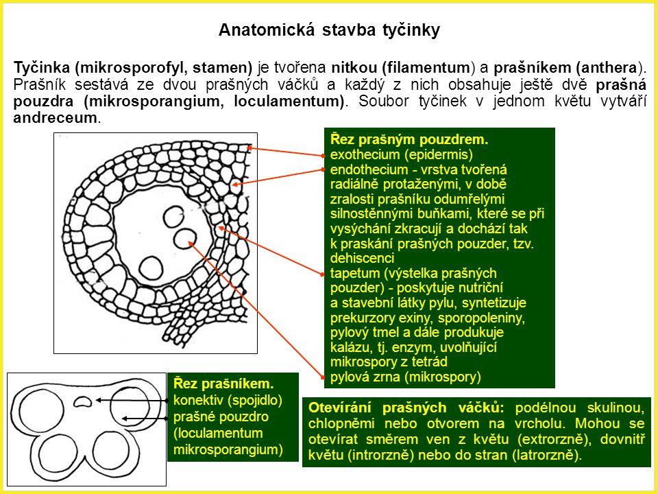 Anatomická stavba tyčinky Tyčinka (mikrosporofyl, stamen) je tvořena nitkou (filamentum) a prašníkem (anthera). Prašník sestává ze dvou prašných váčků