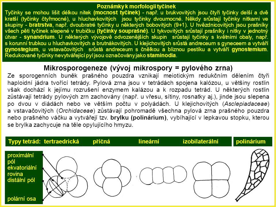 Mikrosporogeneze (vývoj mikrospory = pylového zrna) Ze sporogenních buněk prašného pouzdra vznikají meiotickým redukčním dělením čtyři haploidní jádra