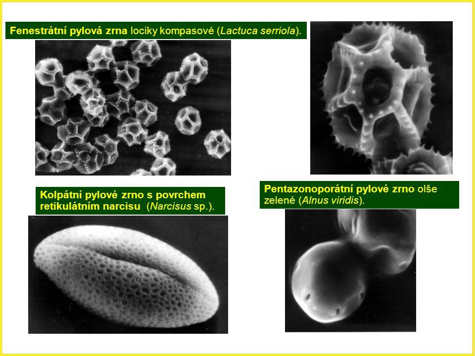 Fenestrátní pylová zrna lociky kompasové (Lactuca serriola). Kolpátní pylové zrno s povrchem retikulátním narcisu (Narcisus sp.). Pentazonoporátní pyl