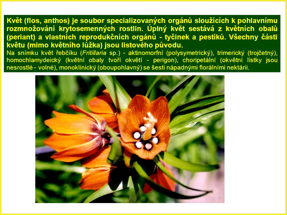 Ontogeneze květu Květy se zakládají v podobě květních primordií (meristematických hrbolků) z periferních apikálních meristémů stonku.