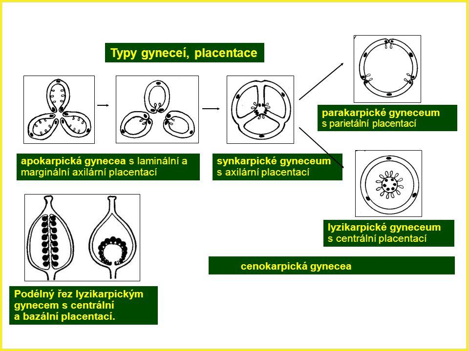 Typy gyneceí, placentace apokarpická gynecea s laminální a marginální axilární placentací cenokarpická gynecea synkarpické gyneceum s axilární placent