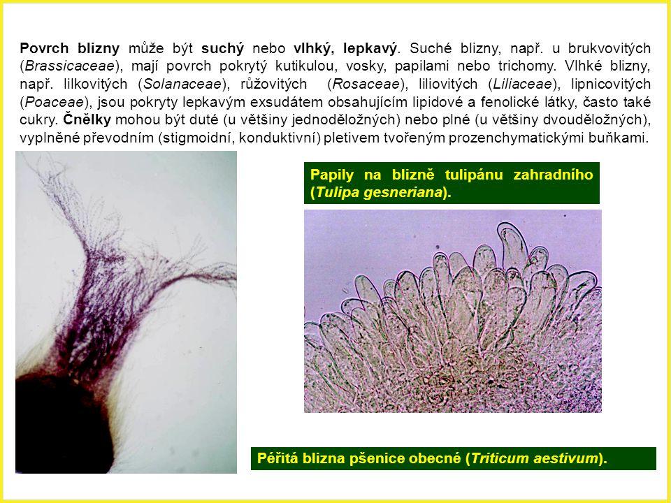 Péřitá blizna pšenice obecné (Triticum aestivum). Papily na blizně tulipánu zahradního (Tulipa gesneriana). Povrch blizny může být suchý nebo vlhký, l