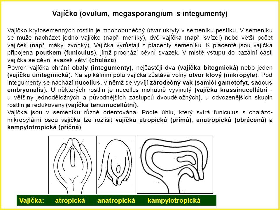 Vajíčko (ovulum, megasporangium s integumenty) Vajíčko krytosemenných rostlin je mnohobuněčný útvar ukrytý v semeníku pestíku. V semeníku se může nach