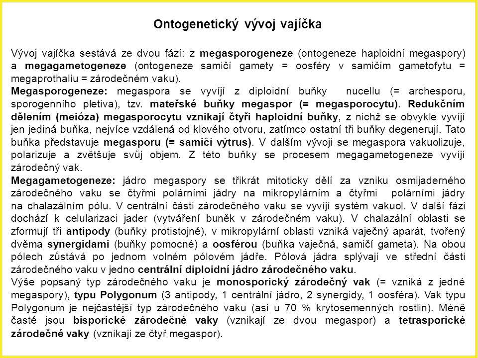 Ontogenetický vývoj vajíčka Vývoj vajíčka sestává ze dvou fází: z megasporogeneze (ontogeneze haploidní megaspory) a megagametogeneze (ontogeneze sami